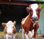 Tuulispään lehmät.
