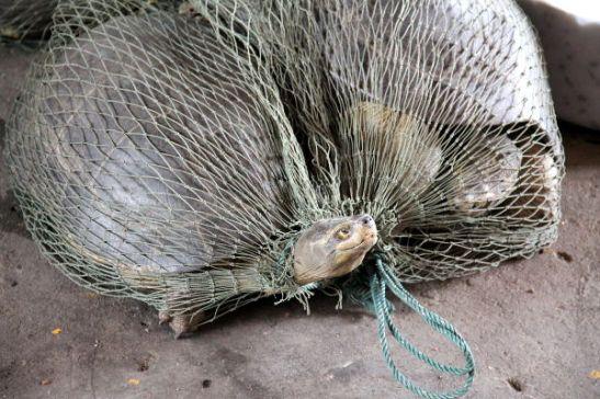 Oli ihan hirveää nähdä eläinrääkkäystä kasvisfestivaaleilla. Oli isoja kilpikonnia verkkosäkeissä ja kymmeniä pieniä kilpikonnia saaveissa. Ainakin buddhalaisuudessa on kieroutunut rituaali saada hyvää karmaa vapauttamalla häkkilintuja. Viis siitä että hyvää karmaa saadakseen pitää ensin vangita eläimiä. Millaista karmaa vangitsija ja myyjä saa, entä ihminen joka maksaa tämmöisestä eläinrääkkäyksestä saadakseen hyvää karmaa vapauttamisesta?