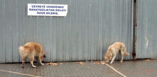 Koirat Sultanahmetissa.