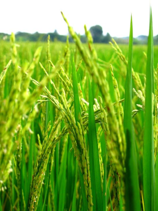 riisinkorret