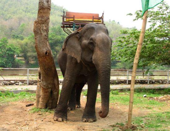 Tuntui pahalta nähdä norsut puuhun tiukasti kytkettyinä. Norsut ovat herkkiä olentoja ja jotta niistä saataisin työnorsuja turistien kuljettamiseen, ne kesytetään riistämällä niiltä unet ja tökkimällä kepeillä kunnes ne lannistuvat.