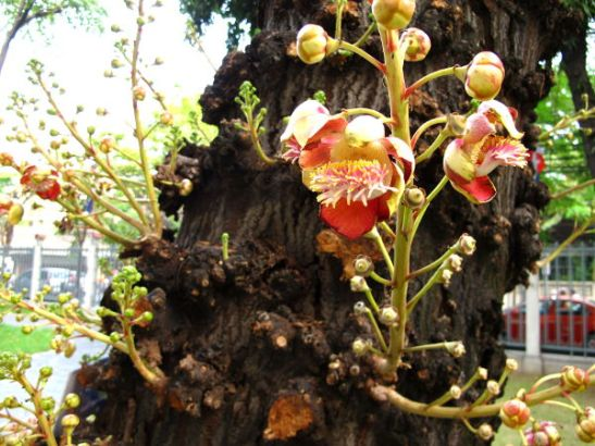 Kanuunankuulapuun kukat kasvavat rungosta.