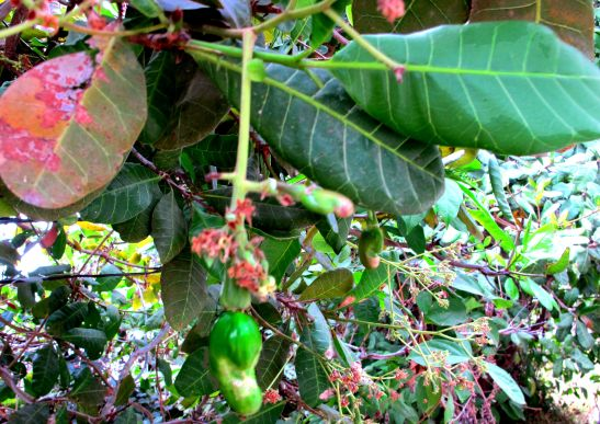 Cashewpuu Koh Taolla.