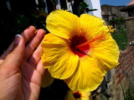 Iso keltainen kukka Vietnamin Hoi Anissa.
