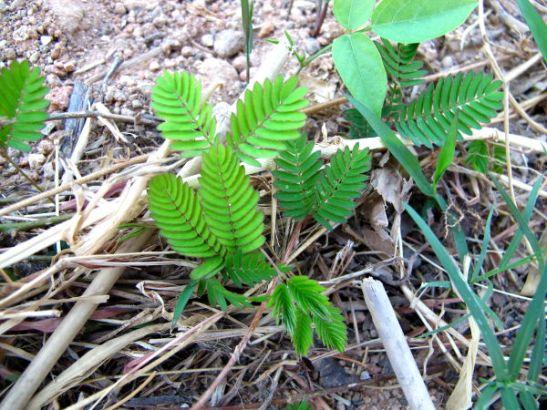 Tuntokasvi (Mimosa pudica) on jännimpiä kasveja mitä tiedän. Kun sitä koskettaa tai muuten vain osuu siihen, sen pienen lehdet menevät suppuun ja varsikin taittuu alas.