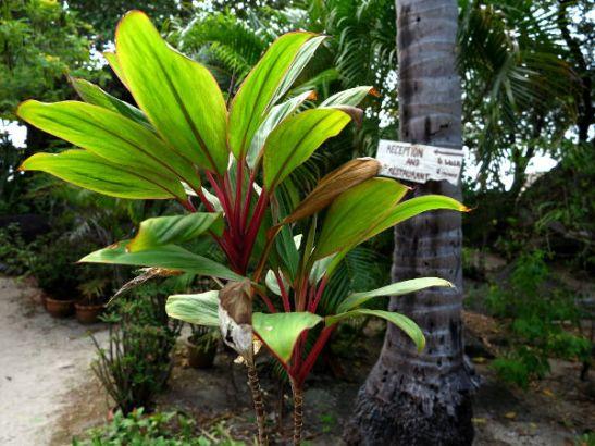 Kasvi Koh Taon saarella.