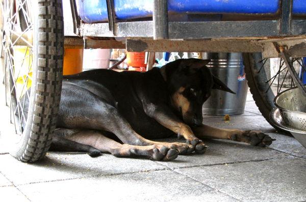 Koiria on tosiaan missä vain, enää minulle ei varmaan tulisi mieleen ottaa kärryjen alla olevasta koirasta kuvaa, koska ei siinä ole mitään epätavanomaista.