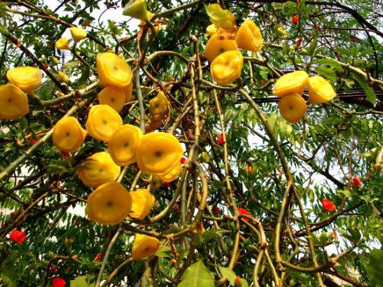 Keltaisia nahkeita hedelmiä tai kukkia riippumassa puusta.