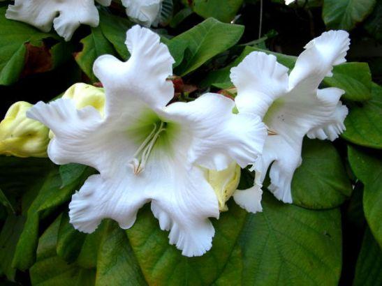 Valkoisia kukkia Koh Taon saarella.