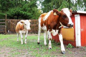 Naudat ovat suurenmoisia eläimiä enkä halua niitä kohdeltavan huonosti, jotta saisin juoda halpaa maitoa ja mussuttaa juustoa.