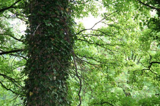 Murattia puun rungossa Luxemburgissa.