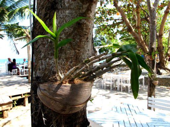 Thaimaassa usein näkee orkideoja kasvamassa puiden runkoihin kiinnitetyissä kookoksenkuorissa.