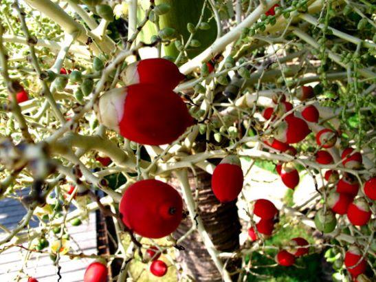 Punaisia palmun marjoja tms. Thaimaassa Koh Sametin saarella.