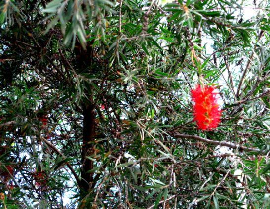 Punakukkainen puu Thaimaassa Koh Taon saarella.
