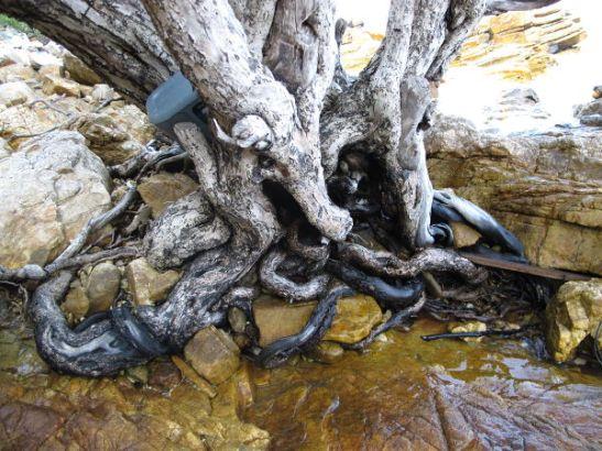 Puun juuret meren rannalla Thaimaan Koh Sametin saarella.