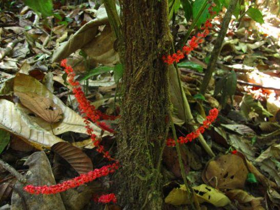 Puun rungosta kasvavat punaiset kukkavarret Thaimaassa Khao Sokin kansallispuistossa.