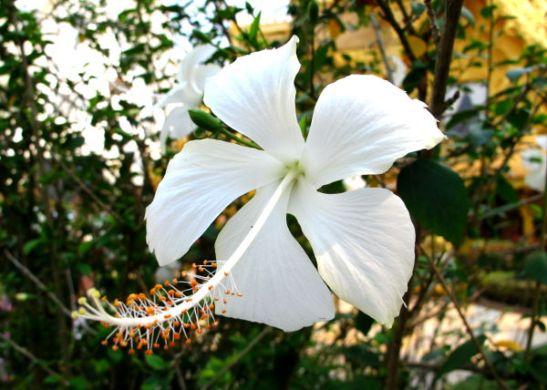 Valkoinen kukka Chiang Raissa Thaimaassa.