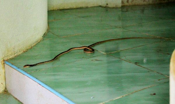 Identifioin käärmeen jonkinlaiseksi bronzeback käärmeeksi, joita näen silloin tällöin metsässä ulkoiluttaessani koiraturvatarhan koiria. Tämän ei pitäisi olla myrkyllinen.