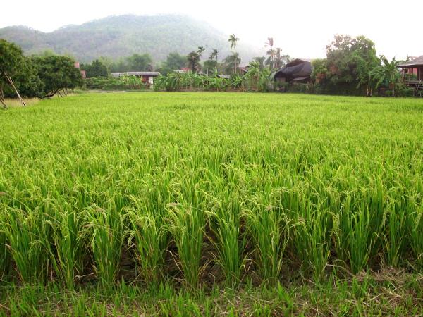 Riisipeltoa koiratarhalta 1 km pohjoiseen.