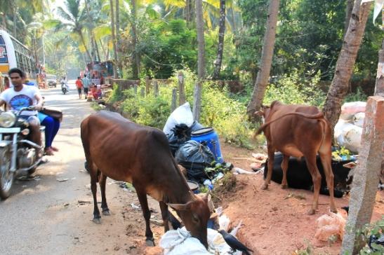 Lehmiä Palolemin kylänraitilla.