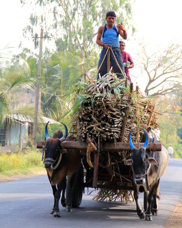 Paljon oli liikkeellä näitä sokeriruokoja kuljettavia härkävankkureita.