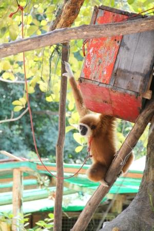 Kuvasin tämän vuodesta toiseen narun päässä elävän apinan eilen Koh Taolla. Tämä taitaa olla gibboni, joista kaikki ovat joko äärimmäisen uhanalaisia tai erittäin uhanalaisia. Mitä liikkuu semmoisen ihmisen päässä joka tekee tämmöistä?