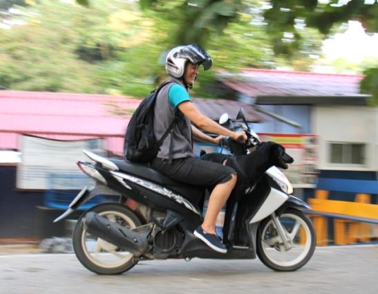 Thaimaassa on täysin normaali juttu nähdä koira mopon kyydissä. Minäkin olen antanut kyyditystä meidän kotikadun Duu Duu -koiralle. Tämä kuva on Care for Dogsin tarhan edestä ja paikan entisen eläinlääkärin kyydissä on Cody.