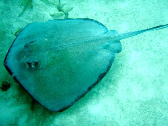 Tällaisia keihäsrauskuja ei pidä mennä pällistelemään akvaarioihin - ne on pyydystetty meristä, joissa niiden kuulun elää vapaina.