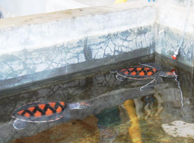 Koh Tao tarkoittaa kilpikonnasaarta. Silti Thaimaan Koh Taolta ovat kilpikonnat lähes hävinneet ihmisten suihin tai häiriintyneen pesimisen takia. New Heavenin sukellusliikkeen yhteydessä yritetään kasvattaa kilpikonnia, jotka vapautetaan veteen eheyttämään kilpikonnakantaa.