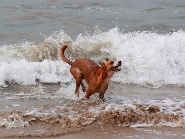 koira aalloissa