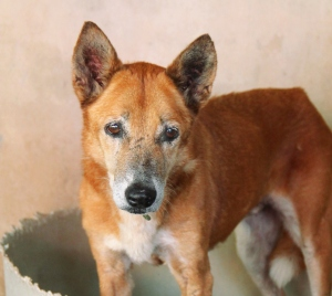 Vanilla on koira, jonka päälle oli heitetty kuumaa öljyä viime marraskuussa Chiang Maissa Thaimaassa. Tässä hän on toipumassa koiraturvatarhalla, jossa se oppi uudelleen liikkumaan ja luottamaan ihmisiin.