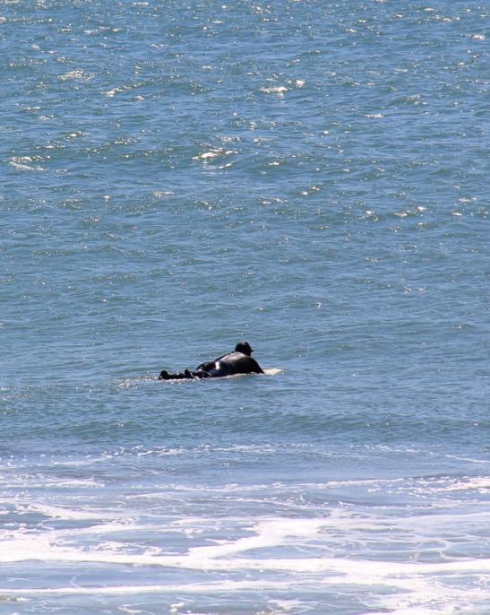 Surffaus Kalifornian rannikolla ei ole mitään bikinitouhua, joten vedessä näkyy kiiltäviä mustia hahmoja kokomärkäpuvuissaan. Ikävä kyllä Tyynimeri Kaliforniassa on siis omalta viluiselta osaltani vain kaunis näkymä.