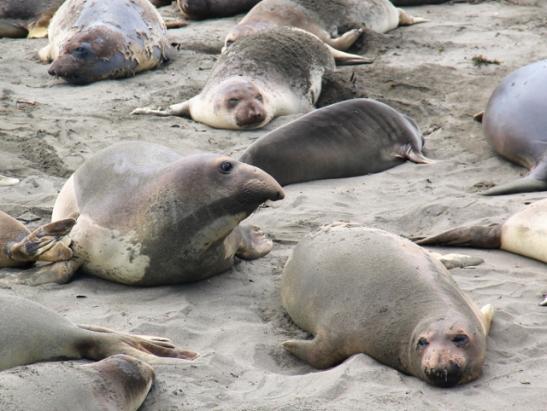 Toisilla merinorsuilla on kärsäntynkä tai isompikin, useimmilla naarailla on ihan normaali hylkeennaama.