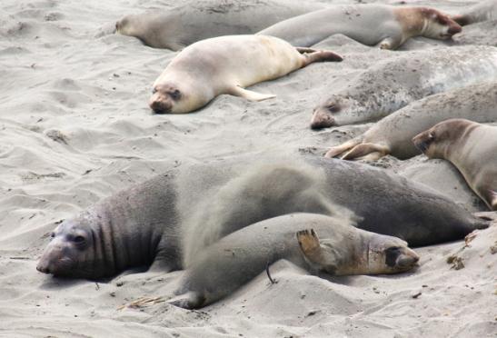Merinorsut heittelevät hiekkaa päälleen kuten tämä nuori hylje.