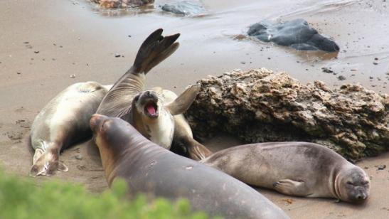 merinorsut kinastelevat