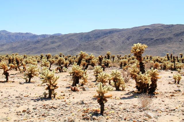 Cactus garden tarkoitti paikkaa, jossa yhtäkkiä kasvaa paljon teddybear-kaktuksia.