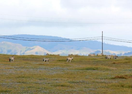 Hearst Ranchin seeproja tien vieressä laiduntamassa, vähän matkaa merinorsupaikasta etelään.