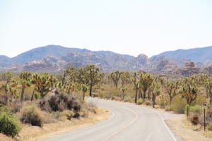 Joosuanjukkapuita kansallispuiston läpi menevän tien varrella.