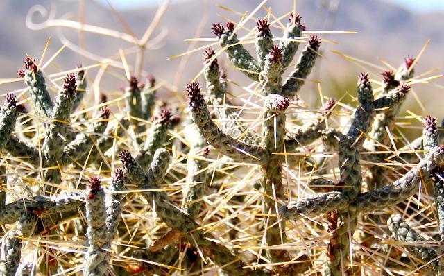 kaktusta