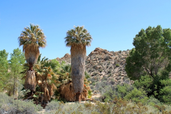 Lost Palms Oasis ihan kansallispuiston eteläsisäänkäynnin lähellä.