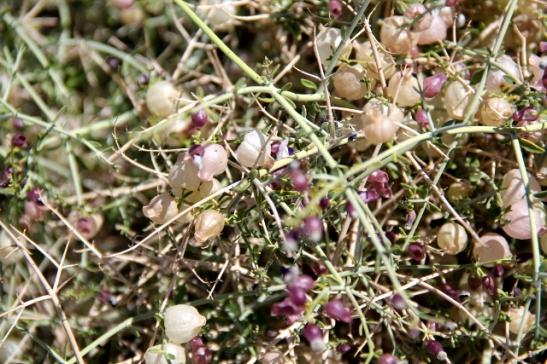 kuiva violetti kukka