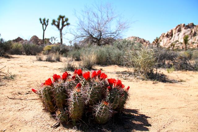 kukkiva kaktuspensas