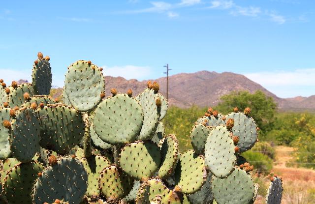 Lätkämäisiä kaktuksia tien varrella.