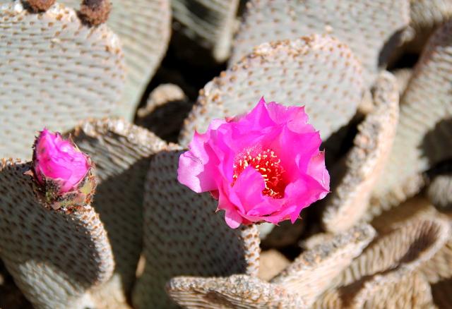 Pinkki kaktuksen kukka.