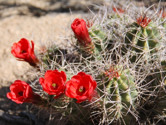 Punaisena kukkiva kaktus.