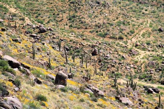 saguarokaktuksia