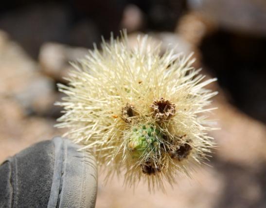 Teddybear cholla on erittäin terävä (olihan sitä pakko sormella kokeilla) ja tarttuu hipaisusta vaatteisiin tai ihoon.
