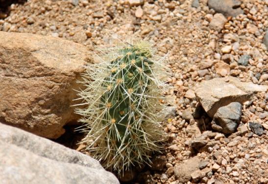 Teddybear cholla leviää maahan pudonneista kaktuspalloista, jotka lähtevät kasvamaan.