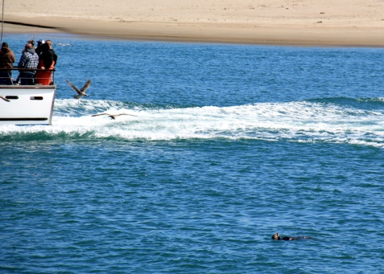 Vene ohittaa vedessä loikoilevan saukon.