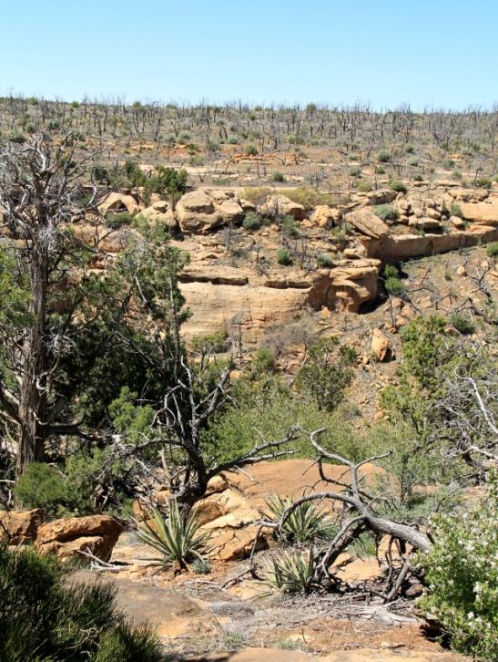 Mesa Verdessä on riehunut paljon maastopaloja. Tässä taustalla näkyy palaneita puita.